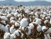 AI is Reducing Indian Cotton Farmers' Pesticide Use
